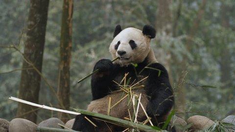 One Giant panda bear eating bamboo