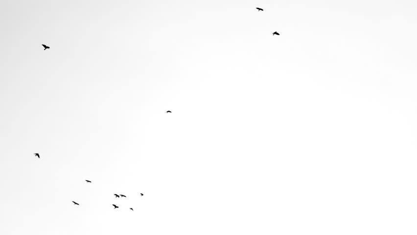 Slow motion shooting of flying black birds on a white background | Shutterstock HD Video #1008076507