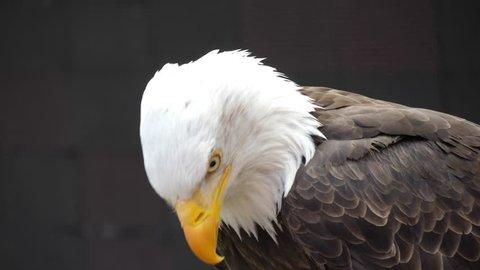 north america bald eagle 4k