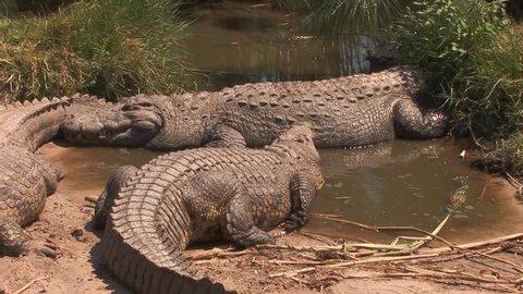 Group of nile crocodiles