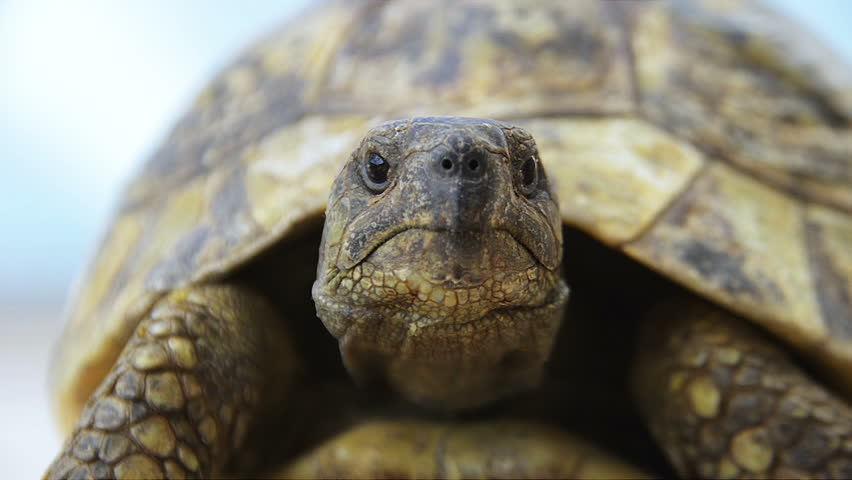 European forest Turtle Front from Low angle. Macro Shot of Forest Turtle Front.
