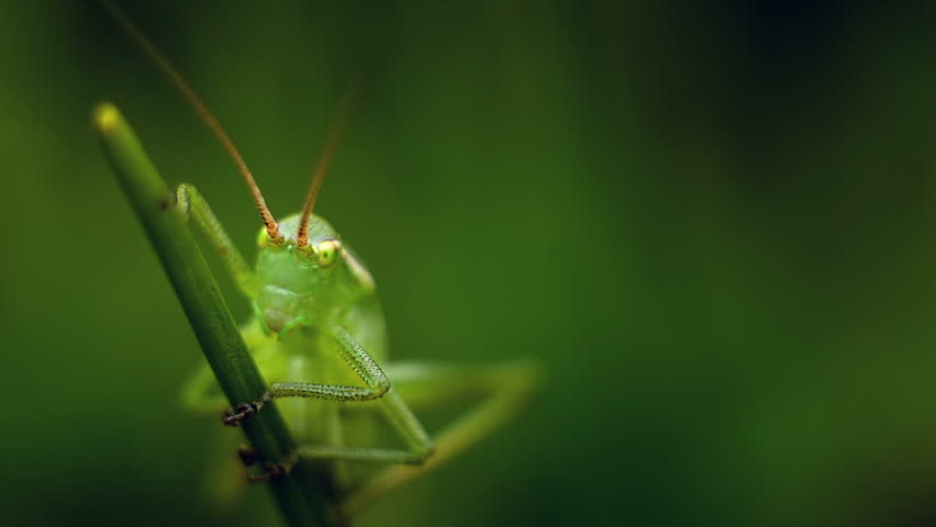 Grasshopper on of Grass with Blur Green Background. The Entire image is in Green Tone Colors and Grass Gently Swaying in the Spring Breeze.