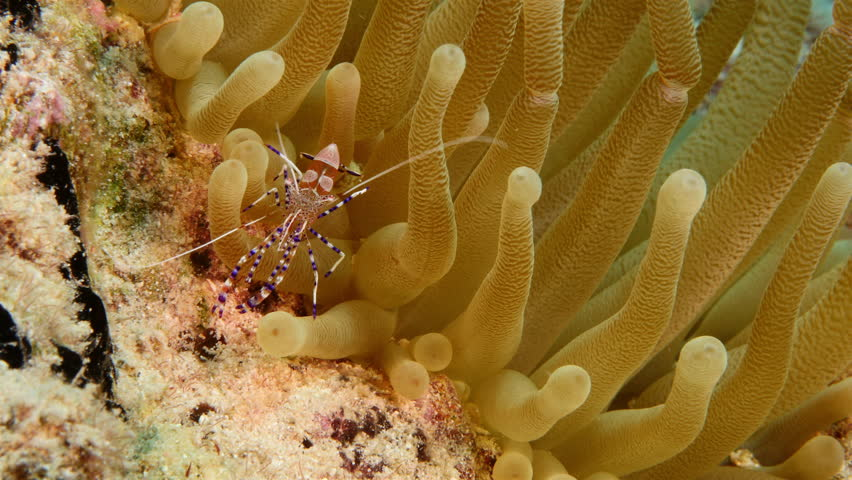 Close up of cleaner shrimp on sea anemone in coral reef / Caribbean Sea #1008219067