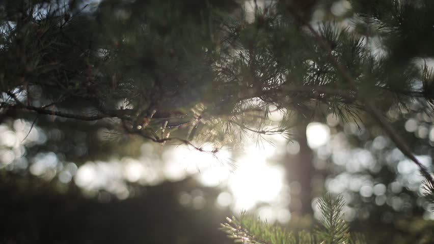 Soft sun beams shine through pine tree needles air macro close up slow motion rack focus. Morning sunshine illuminates coniferous forest bokeh motion background. Calm meditation conscious being sample | Shutterstock HD Video #1008222277