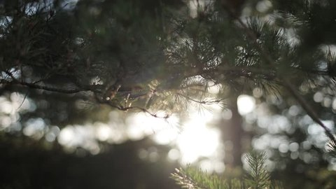 Soft sun beams shine through pine tree needles air macro close up slow motion rack focus. Morning sunshine illuminates coniferous forest bokeh motion background. Calm meditation conscious being sample