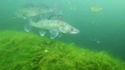 Huge Walleye, Zander or Pike-perch (Sander lucioperca). Underwater video of fresh water fish. Animals in nature. Swimming pike perch in the nature habitat.
