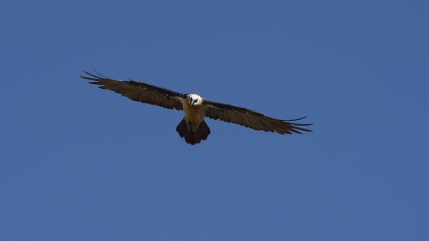 Bearded vulture flying in blue sky, towards camera, slow motion 96fps shot