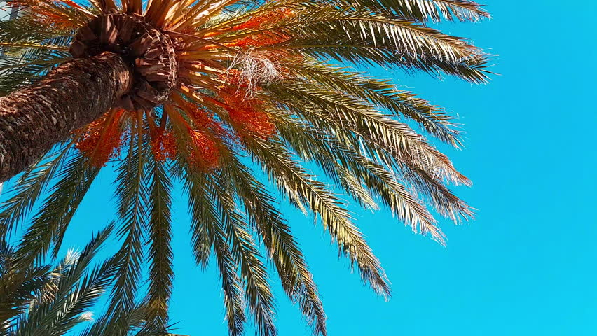 Date Palm Tree With Ripe Fruits And Branches Moving in The Wind, Leaf Palm Tree On Blue Sky - 4K Video