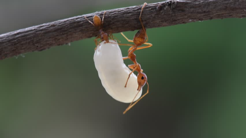 Red Ant and the egg in Southeast Asia.