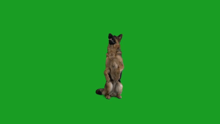 German Shepherd standing on hind legs on a green screen #1008420787