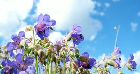 Meadow Geranium are swaying in the wind against blue sky. The flowers of the meadow cranesbill close-up.
