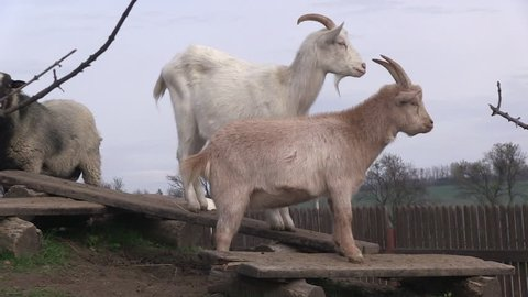 funny goats on the backyard