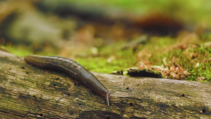 Large slug crawls over wooden log in the forest.