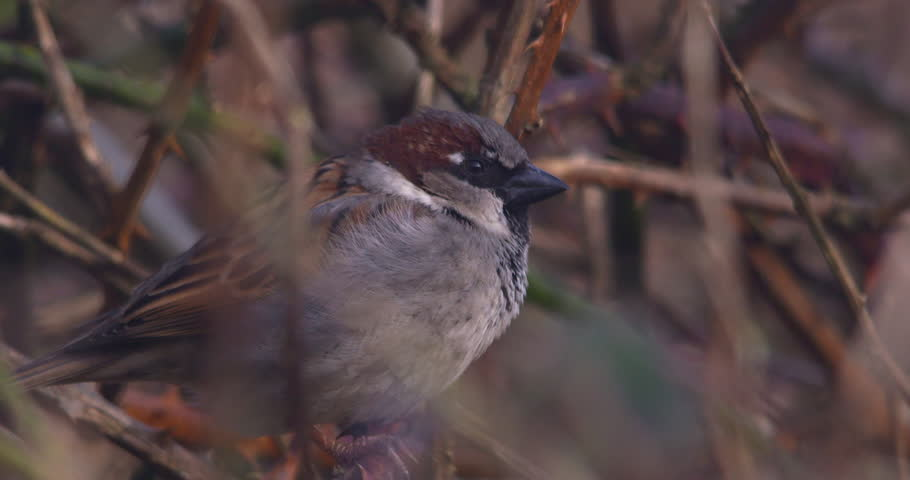 House Sparrow bird close up slow motion