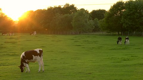 4K video clip showing herd of Friesian cows grazing, eating grass in a field on a farm at sunset or sunrise
