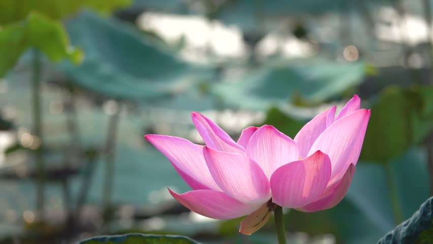 Pink lotus flower.  The background is the pink lotus flowers and yellow lotus bud in a pond. Peace scene in a countryside, Vietnam
