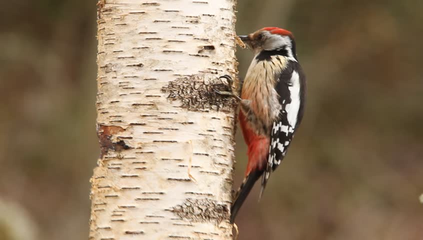 Middle spotted woodpecker. Dendrocopos medius