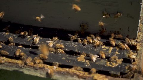 New Zealand Bees entering an Open Hive
