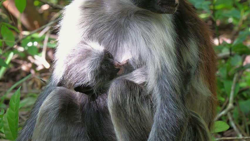 Red Colobus Monkey (Procolobus kirkii) in Jozani Forest on island of Zanzibar, Tanzania, Africa. Close up of feeding on leaves and fruits.   Shutterstock HD Video #1008649267