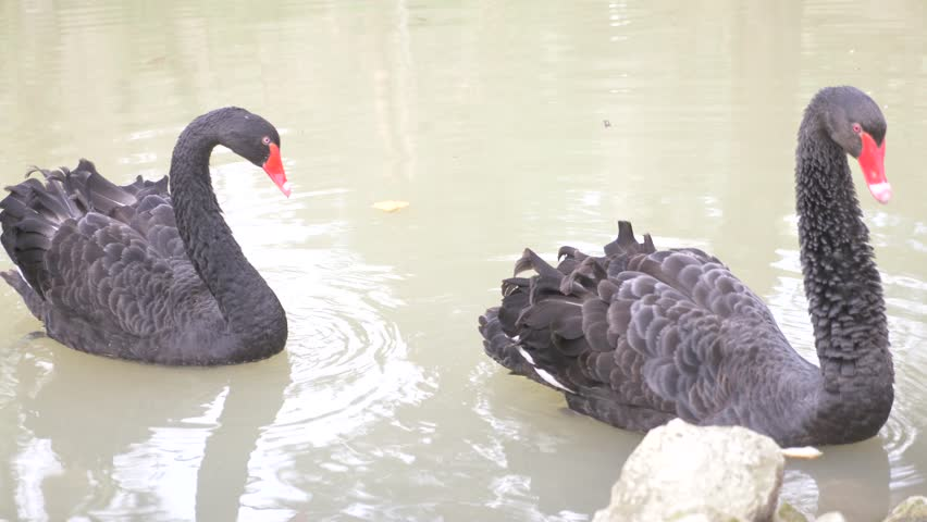 Two black swans float in the lake. Love couple of black swans. Beautiful wildlife concept. close-up, 4k, slow-motion