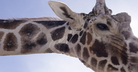 Giraffe face close up in camera against blue sky - slow motion