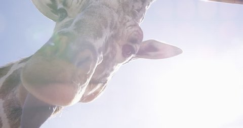 Giraffe looking directly into camera on bright sunny day - lens flare