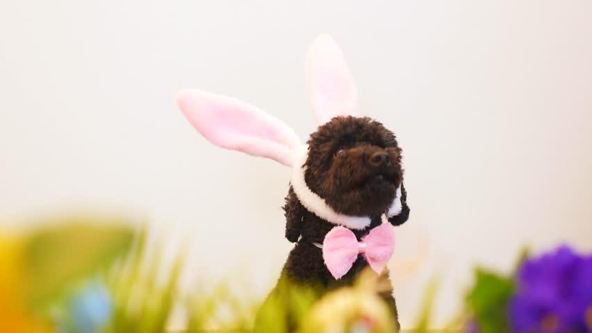 Funny little dog (poodle) wearing Easter bunny ears | Shutterstock HD Video #1008694537