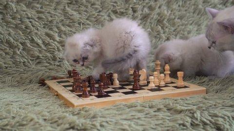 Two white kitten playing chess.