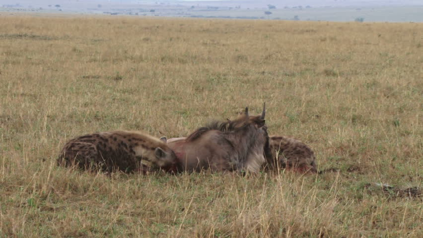 Two hyenas joins together to hunt down a young wildebeest.