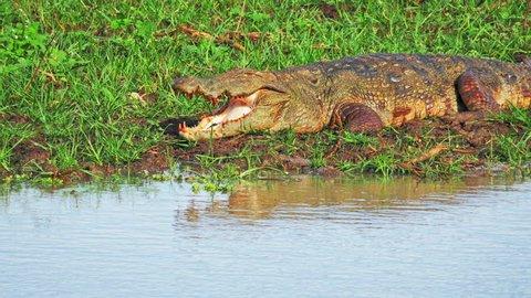 Massive Marsh Crocodile Mugger along water edge of freshwater swamp in Yala national park in Sri Lanka wildlife reserve and nature protection sanctuary