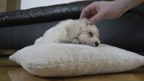 Hand of man gently caressing cute baby bichon dog that trying to sleep at home, close up. Fingers of owner cuddling head of beautiful puppy while lying on white pillow at floor. Little pet enjoying.