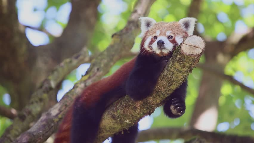 Red panda sitting on a tree