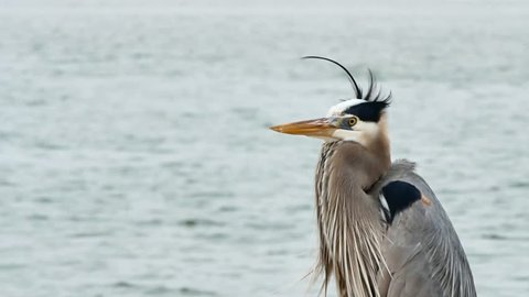 Gray Heron, Ardea cinerea, posing on jetty at Port Aransas Texas on a cloudy day