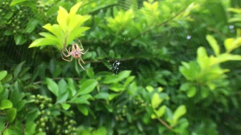 Juvenile Huntsman Spider spinning a web on a plant in Rarotonga, Cook Islands.