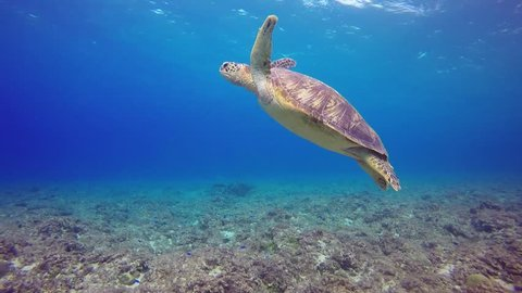 green turtle on ocean