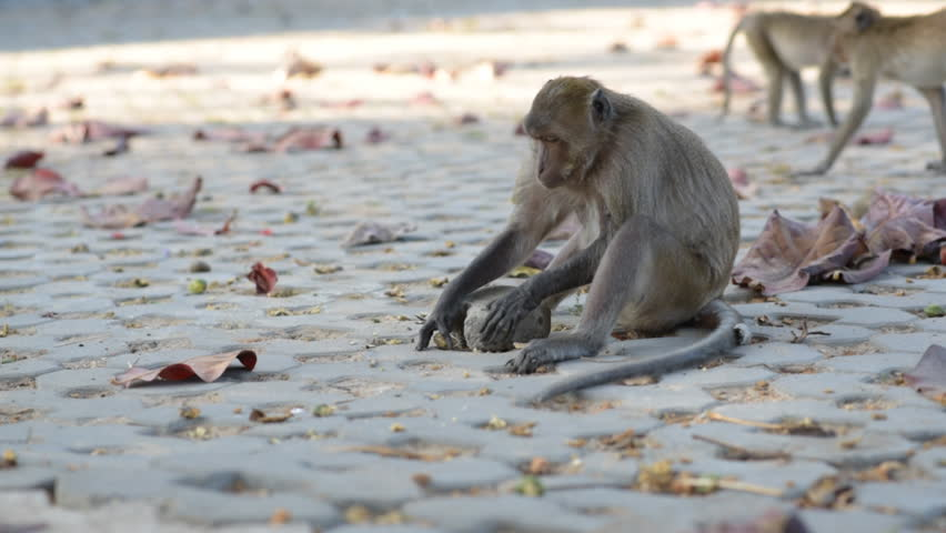 Macaque (Macaca arctoides) uses a tool - breaking a sea almond (Terminalia catappa) by hitting it with a cobblestone. This is a free-living urban monkey community of Prachuap Khiri Khan city, Thailand
