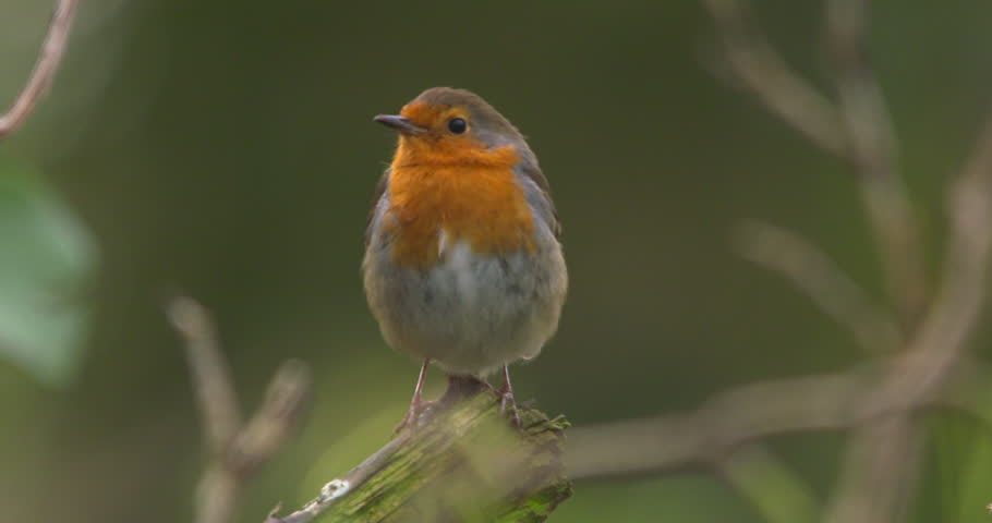Robin bird perched on forest branch looks right and left slow motion | Shutterstock HD Video #1009124267