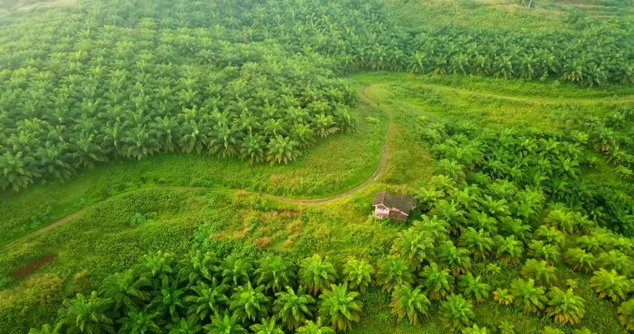 Beautiful aerial landscape of green lush palm oil plantation from a drone flying forward at Sukabumi, West Java, Indonesia. Shot in 4k resolution