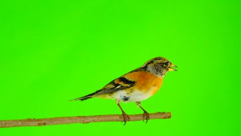 female Brambling (Fringilla montifringilla) sits on a branch isolated on a green screen