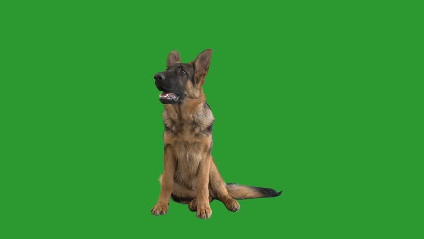 dog sitting on a green screen #1009225547