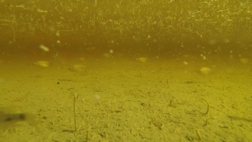 School of Tilapia swim among larvae mosquito in standing water, Asia