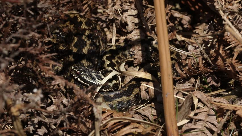 A beautiful Adder snake ( Vipera berus) warming in the spring sunshine after coming out of hibernation.