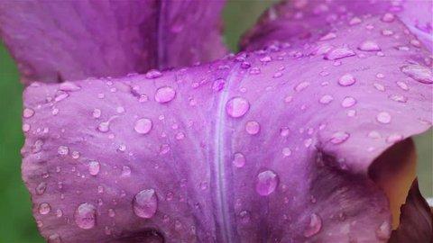 drops on a purple flower, purple flower petal with dew