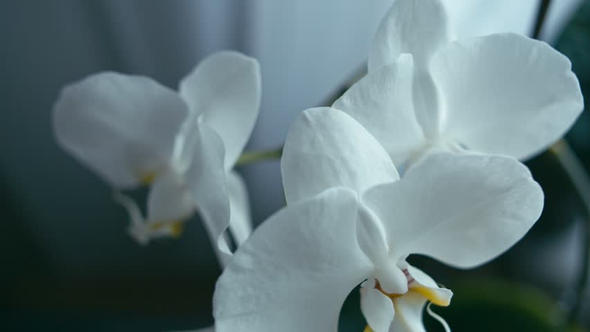 White orchid flower, tracking shot, Shallow depth of field. Rec 709