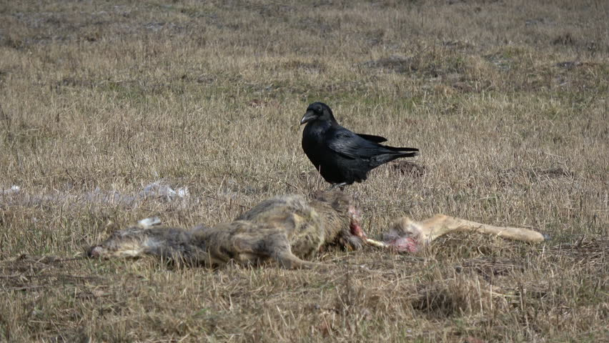 Two ravens Corvus corax near dead roe deer carrion on spring field