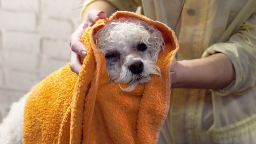 Groomer wipes the dog Bichon Frize with a towel