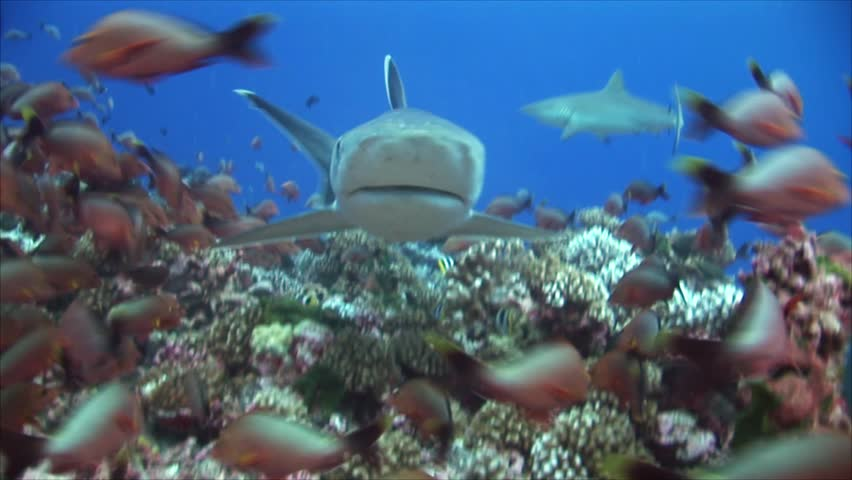 Beautiful close up shot of silvertip sharks on a tropical coral reef in Rangiroa, French Polynesia during a shark feeding, shark dive while sharks are getting close to the camera   Shutterstock HD Video #1009351427