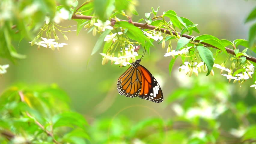 Butterfly flying slow motion . Adult butterflies is orange black wings and flying on flower in morning. It beautiful nature summer season. Orang white and black colorful butterfly on sunlight on tree