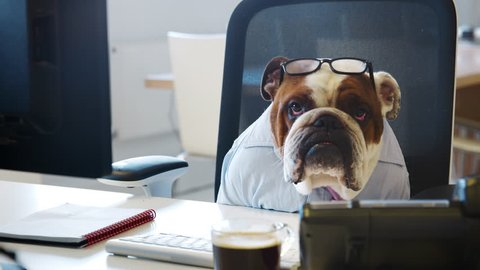 British bulldog sitting at a desk in an office, working