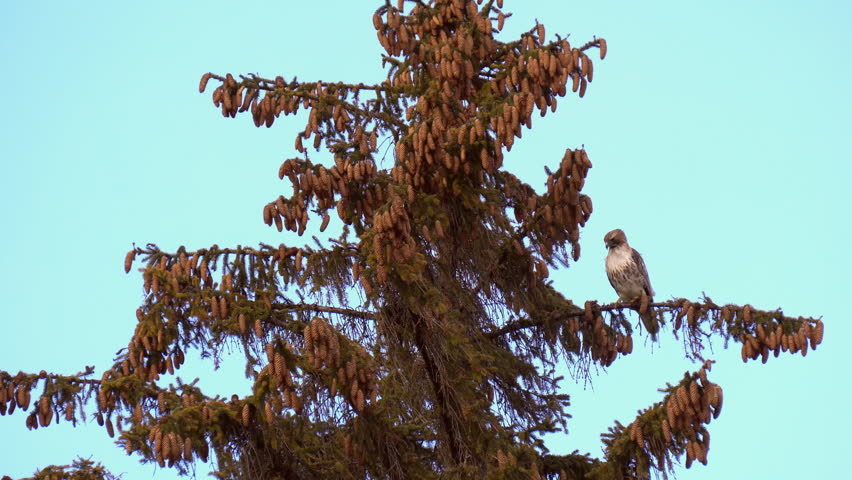 Red tailed hawk, female, perching high on pine tree branch in wind in midtown Toronto, Ontario,Canada